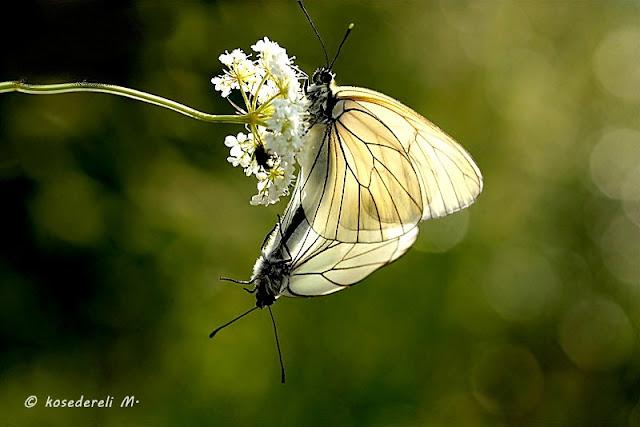 alıç kelebekleri ve beyaz çiçek