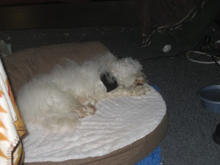 Wally, the Coton, resting after training sessions with the amateur dog trainer.