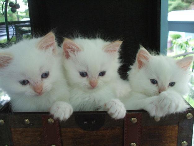 Dari sebuah program breeding dengan seleksi yang ketatakhirnya    Kucing Siam
