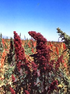 Organic Quinoa from Colorado