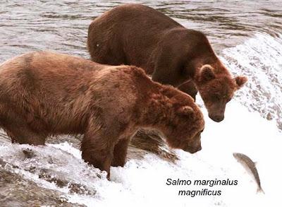 """Cette photo montre deux enormes ours bruns, accaparant la plus grande partie de l'image, en traint d'observer un poisson en train de sauter. Il s'agit d'un saumon, poisson anadrome, c'est a dire vivant dans la mer mais remontant les fleuves et les rivières vers les sources pour s'y reproduire. Ainsi certaines espèces de saumon, poussées par son instinct, parcourent des milliers de kilometres et remontent meme de tout petits ruisseaux. Certains saumon franchissent des cascades de trois metres ou traversent des routes en profitant des inondations. Cela n'est pas sans dommages, puisque les saumons qui reussissent a remonter sont souvent blesses et beaucoup d'autres meurent, meme en l'absence d'obstacles physiques et hors de la predation naturelle, certainement d'epuisement ou perturbes par la pollution de l'eau. On a longtemps pense que que chaque saumon retrouvait l'endroit ou il etait ne et y revenait pour se reproduire. Tous les saumons sont doues d'importantes capacites de saut, pouvant depasser les 2 à 3 metres. Le saumon de l'image est saisi en train d'effectuer un saut tandis qu'il remonte un fleuve bouillonnant d'écume. Il arrive a une etendue d'eau plus calme ou le guettent avec un air tres attentif les deux ours precedemment cites. Le comique nait de l'air particulierement interesse des ours qui tendent leur tete de concert vers le pauvre saumon qui parait derisoire en comparaison des deux gros plantigrades. Le poisson semble n'avoir aucune chance puiqu'il saute tout droit dans la gueule du loup, sauf qu'il s'agit en fait ici de la gueule de deux ours. A cote du poisson est inscrite en italique la mention """"Salmo marginalus magnificus"""" qui se veut le nom scientifique latin de ce saumon mais qui n'a rien de scientifique car juste destine a faire le rapprochement avec Le Marginal Magnifique qui dans son poeme intitule """"Le saumon"""" se compare au courageux poisson. Comme le saumon Le Marginal Magnifique, brillant poete subversif, dit nager a contre-courant, c'est a"""