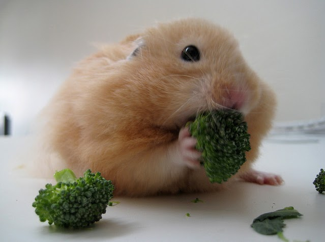 Can Syrian Hamsters Eat Cat Food