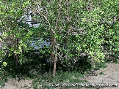 Api-api Putih (Avicennia alba)
