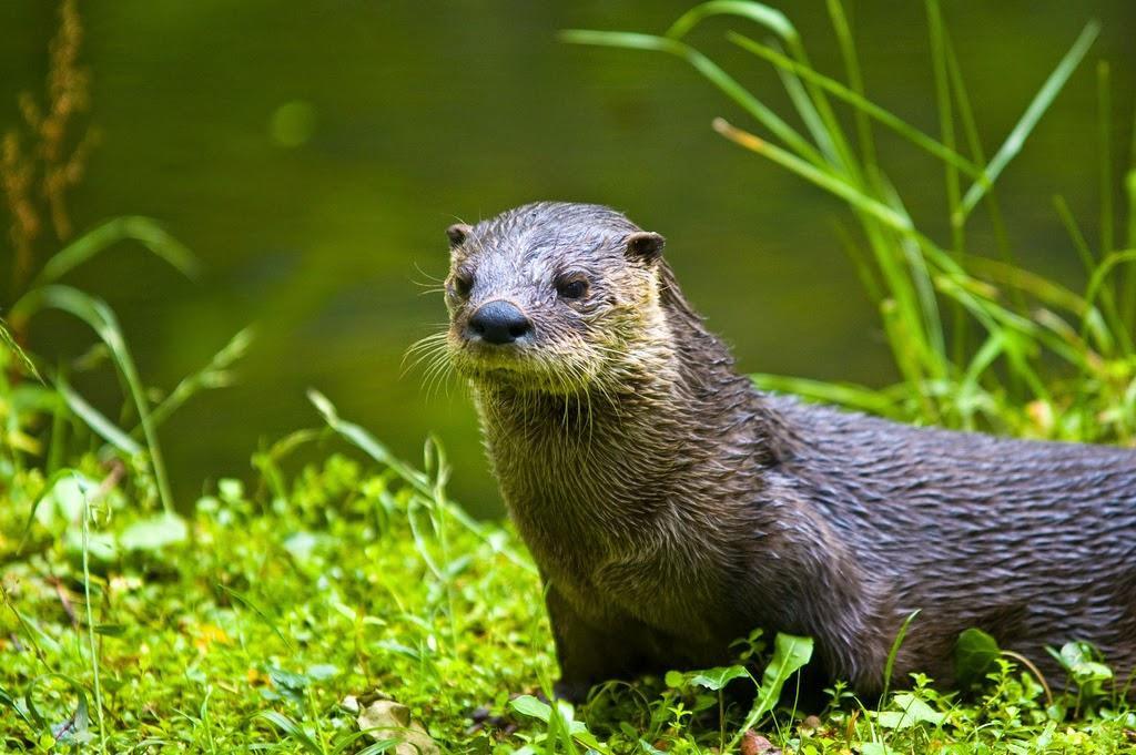 Unha lontra na beira do río
