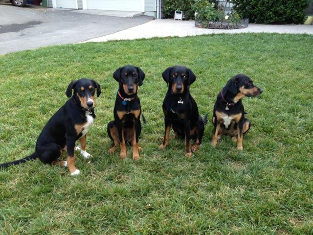 ... Mix Redbirddog - a hungarian pointer (vizsla) blog: vizsla and