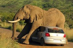 Gatal, Gajah Ini Jadikan Mobil Alat Penggaruk