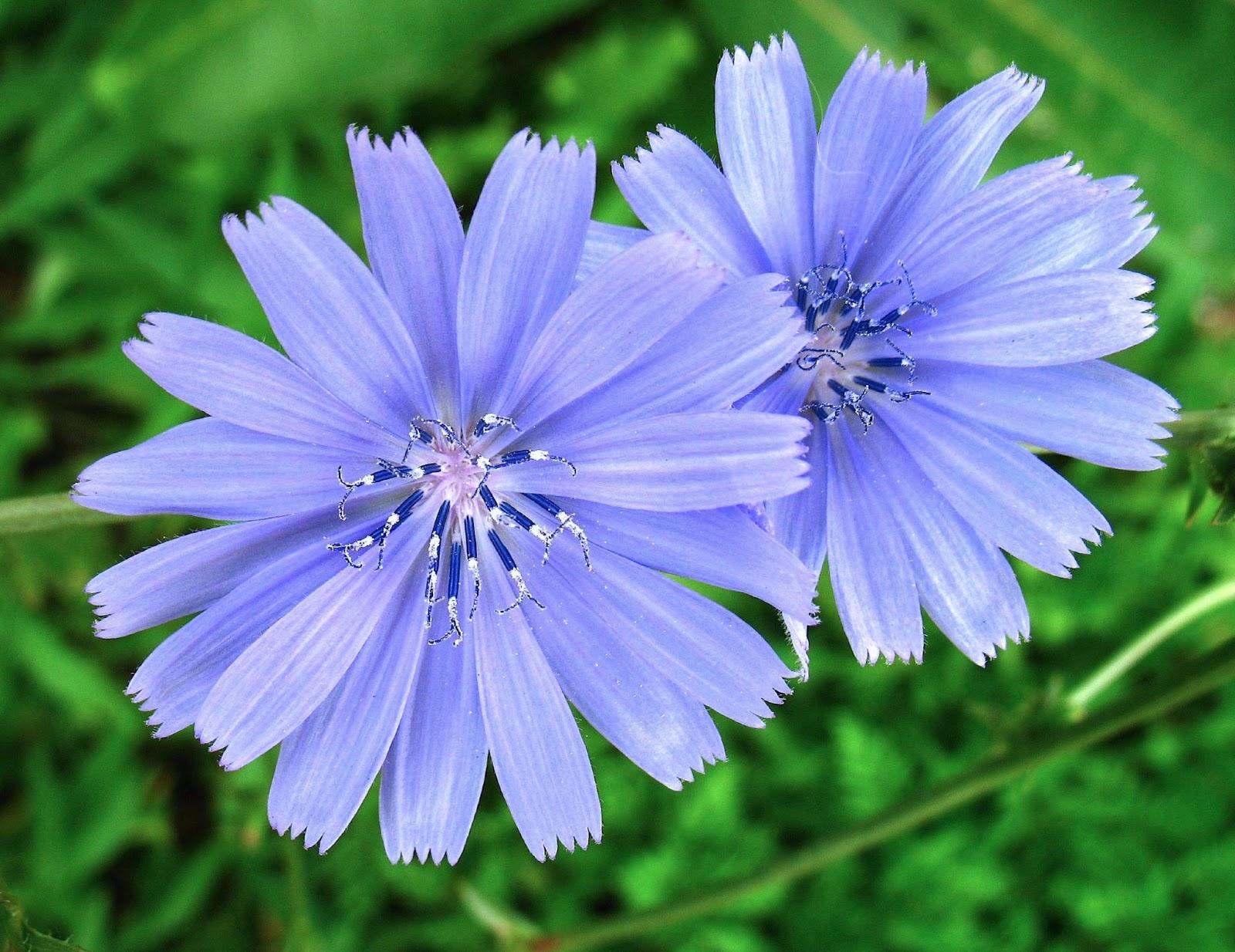 chicory wallpaper flower - photo #24