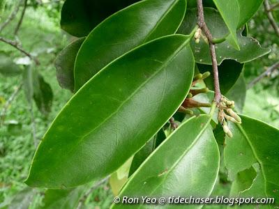 Common Malayan Mistletoe (Dendrophthoe pentandra)