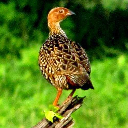 Indian birds - Painted francolin - Francolinus pictus
