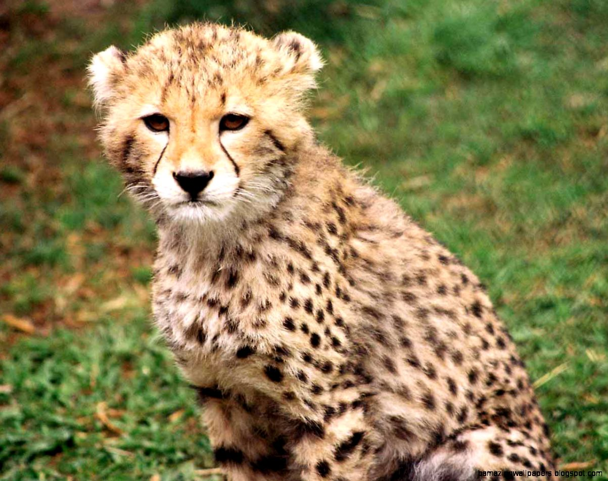 Cute Baby Cheetah Wallpaper   The Best Wallpaper and Backgrounds