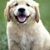 Golden Retriever Adoption: Puppy or Adult?
