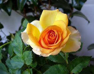 Gelbe Rose auf meinem Balkon
