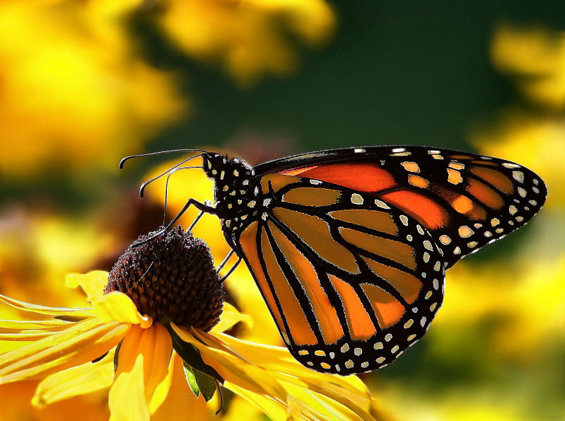 Monarch butterflies on flowers funny animal for Butterfly on flowers
