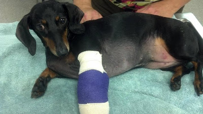 dachshund in a cast