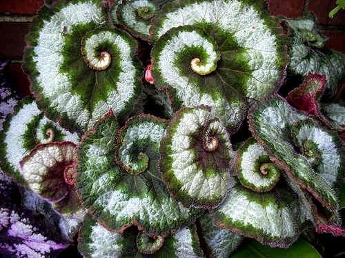 Поразительная листва растений Бегония Рекс