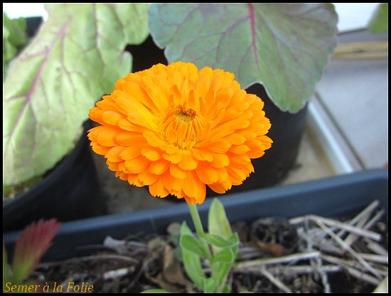 fleur souci orange king