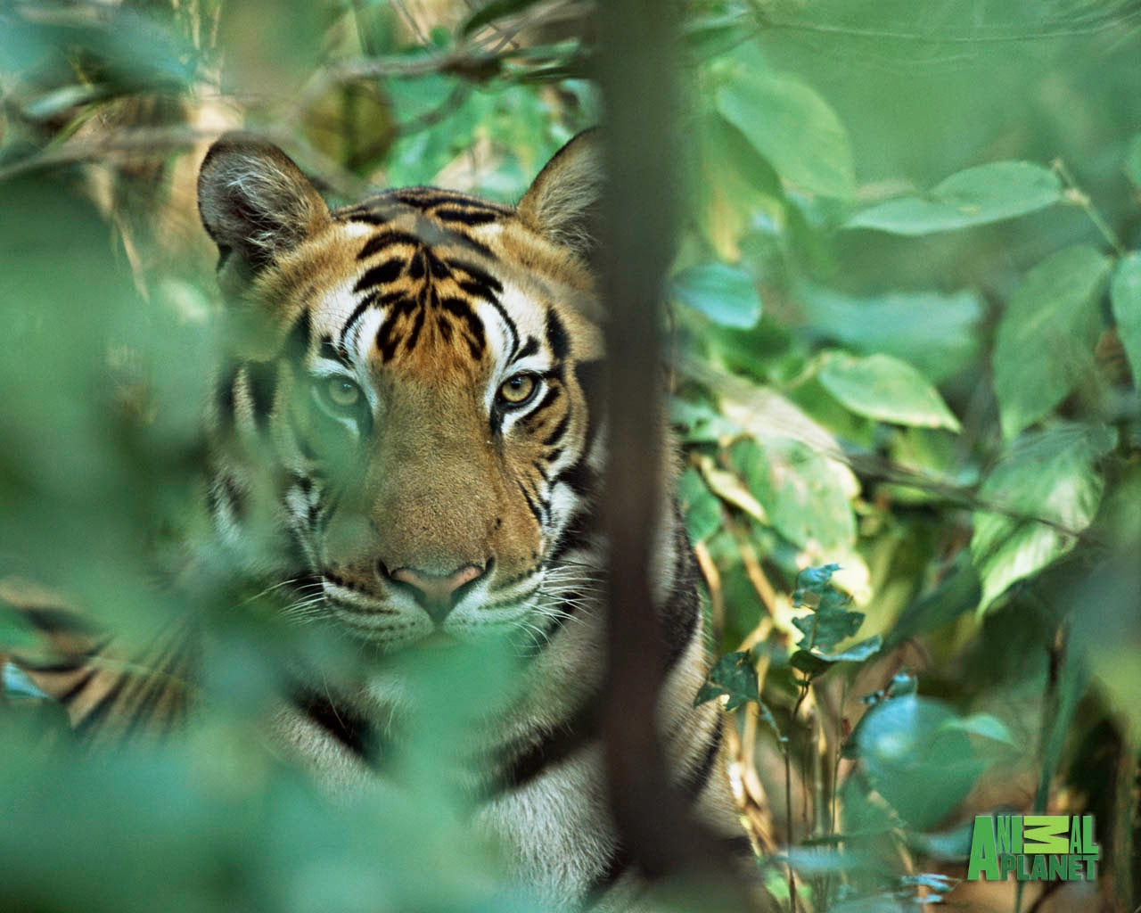 animal planet picture: Animal Planet Wallpaper Download Tiger