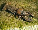 Geknobbelde Amerikaanse rivierkreeft. Foto Cover Onderzoek naar rivierkreeften in het beheergebied van het Hoogheemraadschap De Stichtse Rijnlanden