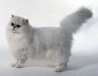 Ras-kucing-Persia1