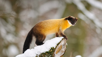 Yellow-throated marten (© D. Sheldon/Corbis) 393