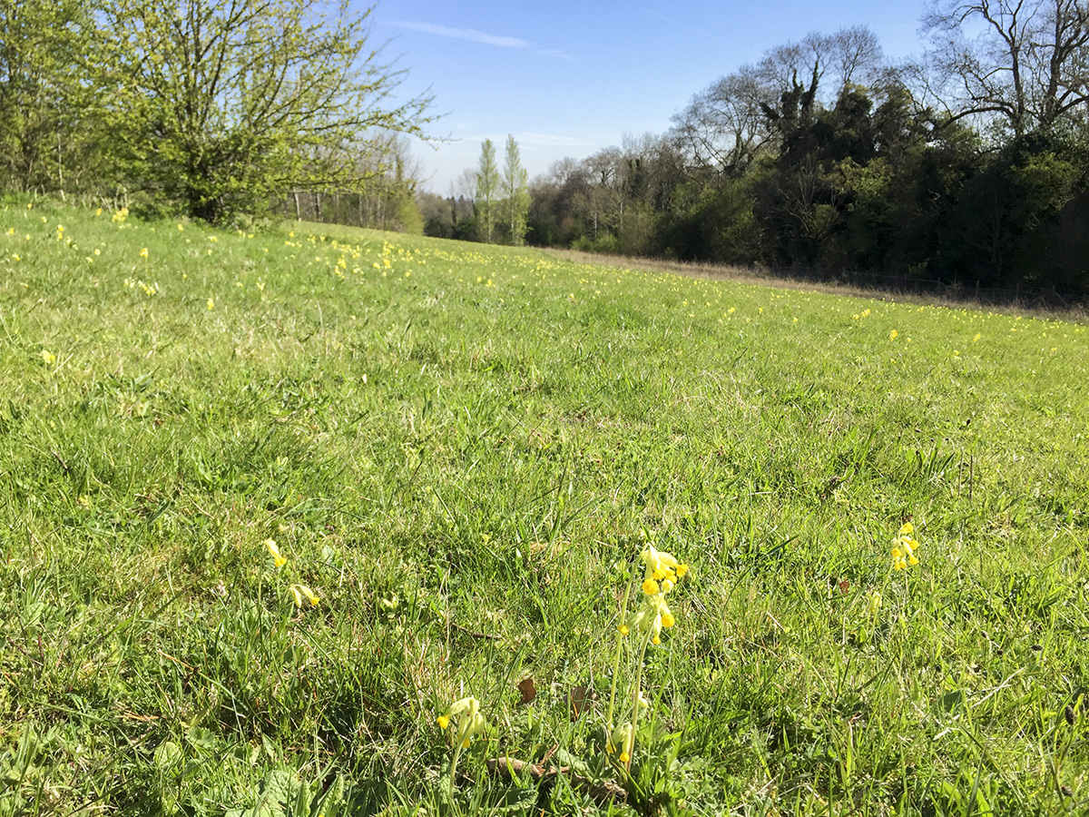 Conservation Field, High Elms, with cowslips, 21 April 2015.
