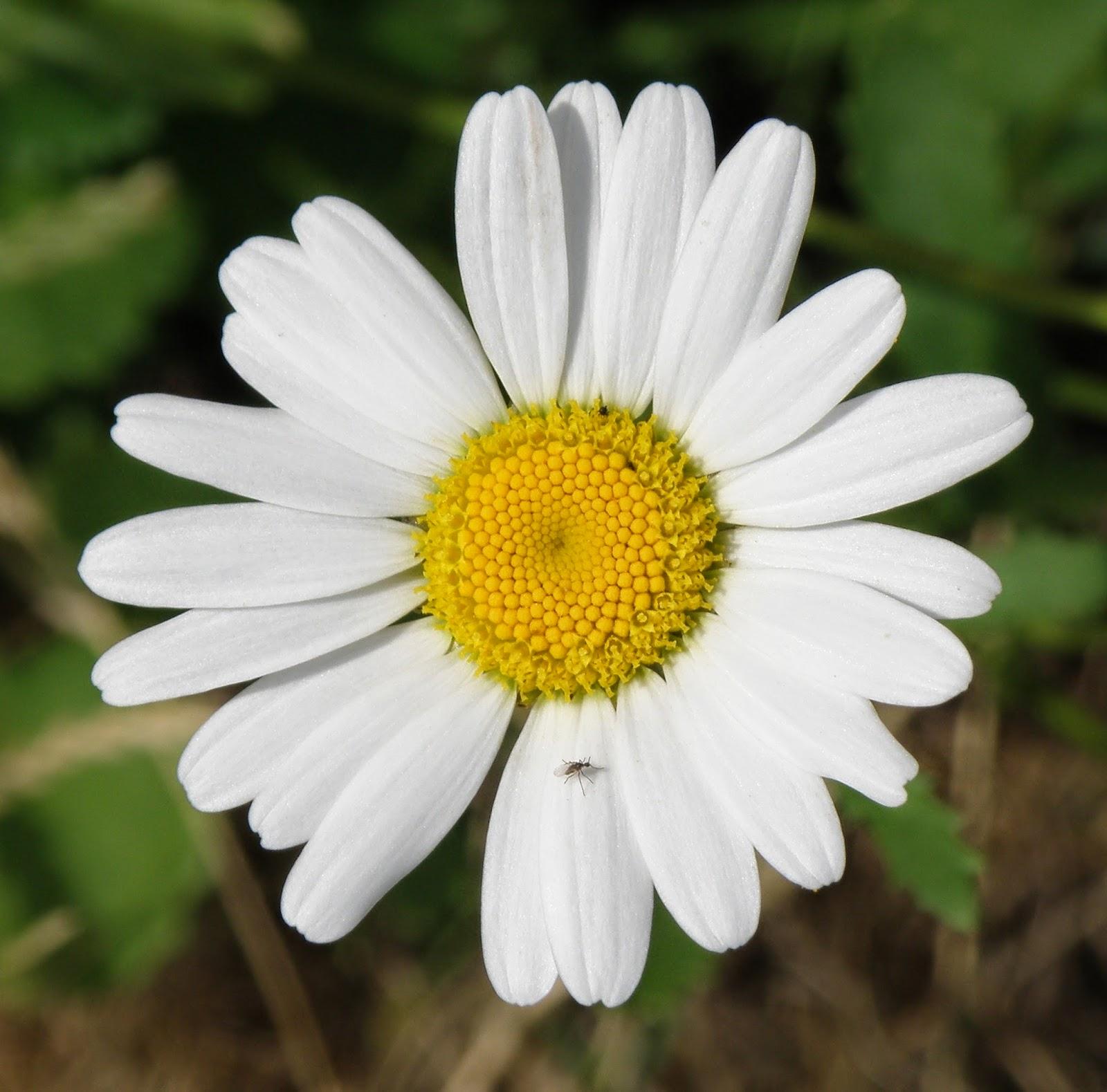 Matricaria otro remedio natural contra el dolor de cabeza