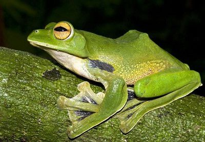 New Flying Frog Species Discovered