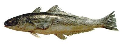 robalo patagonico Eleginops maclovinus