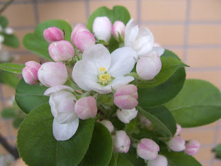 Miniature apple tree blooming in spring 2013, Tokyo.