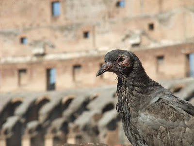 pigeon in the colosseum, rome italy