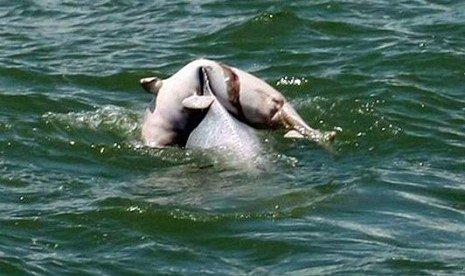 Kasih Sayang Sang Induk Lumba-lumba