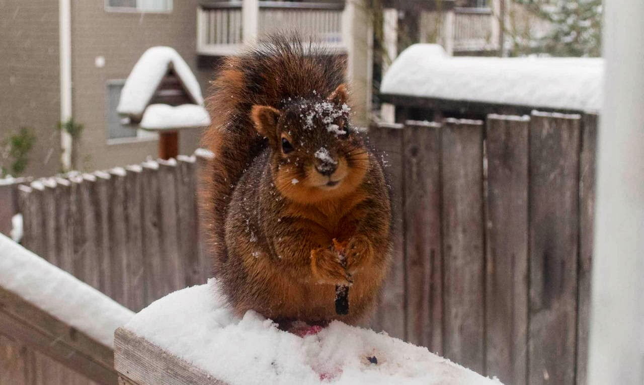 Funny animals of the week - 14 February 2014 (40 pics), fat squirrel in the snow