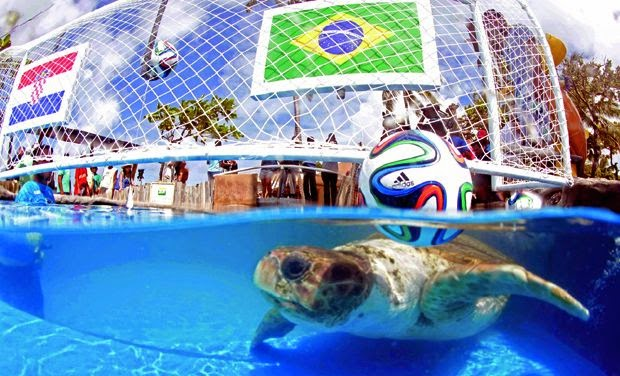 rùa đầu to cabecao brazil