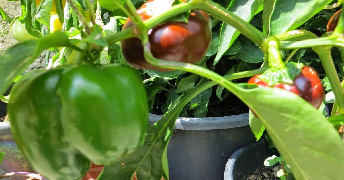 paprika ernten paprika ernten ab august t tig werden gem. Black Bedroom Furniture Sets. Home Design Ideas