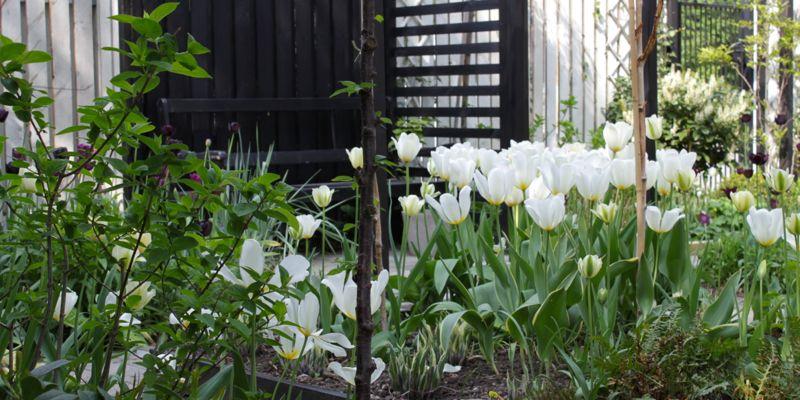 tulipaner, Purissima, Spring Green