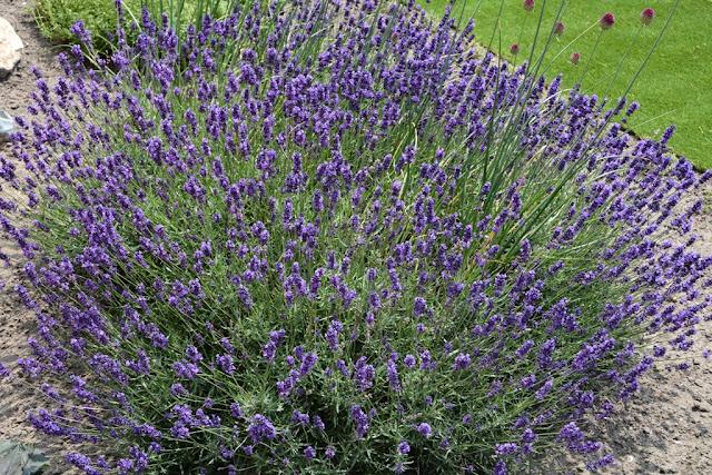 Flowers Lavendel
