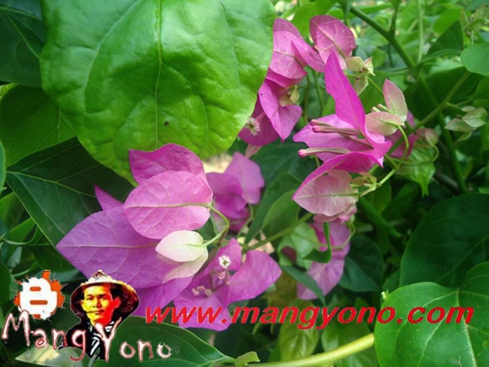 Bunga Bougenville saya tanam di pojok taman mungil saya