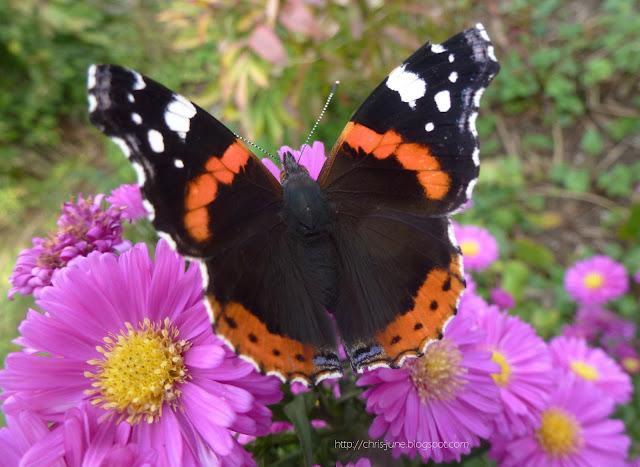 Schmetterling Admiral mit Herbstastern