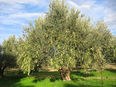 Olive Tree, Crete Island, November