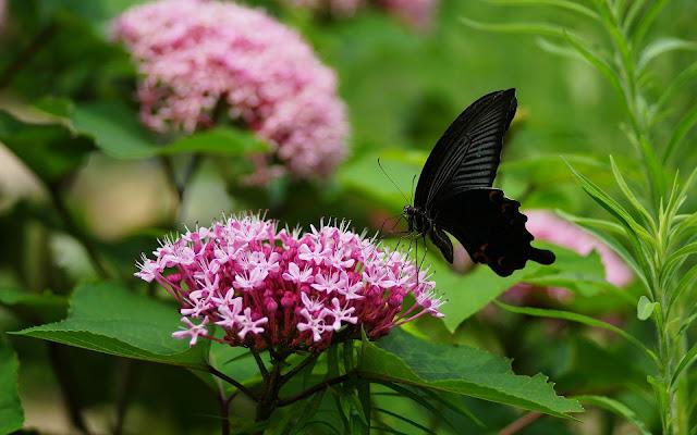 Zwarte vlinder op een roze bloem