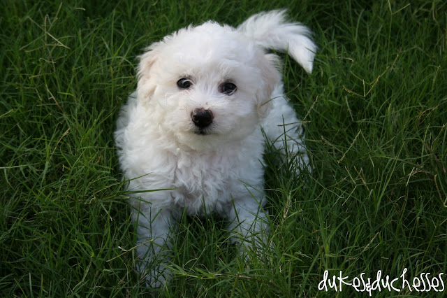 bichon frise puppy