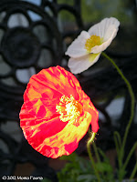 Poppies on the porch.