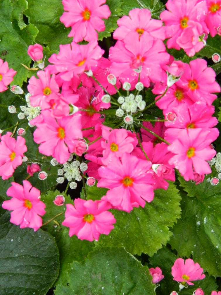 Primula malacoides Allan Gardens Conservatory Spring Flower Show 2014 by garden muses-not another Toronto gardening blog