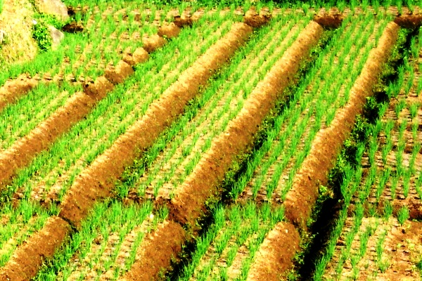 Kebun Bawang. Kotabumi Lampung Utara