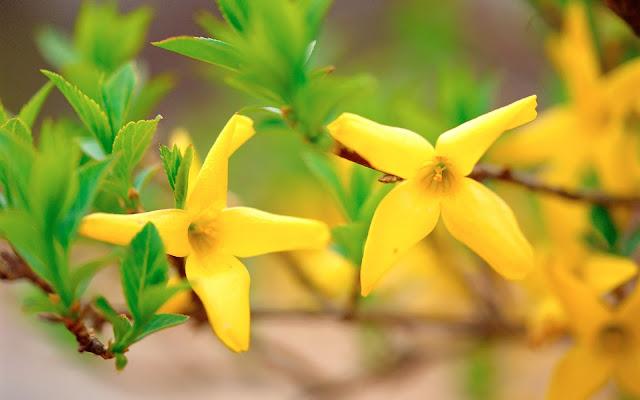 Hình nền hoa mùa xuân đẹp