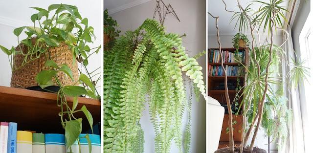 plantas na sala de estar: trepadeira, samambaia e dracena. blog Carina Pedro