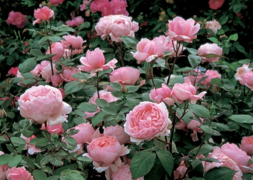 Brother Cadfael rose сорт розы фото