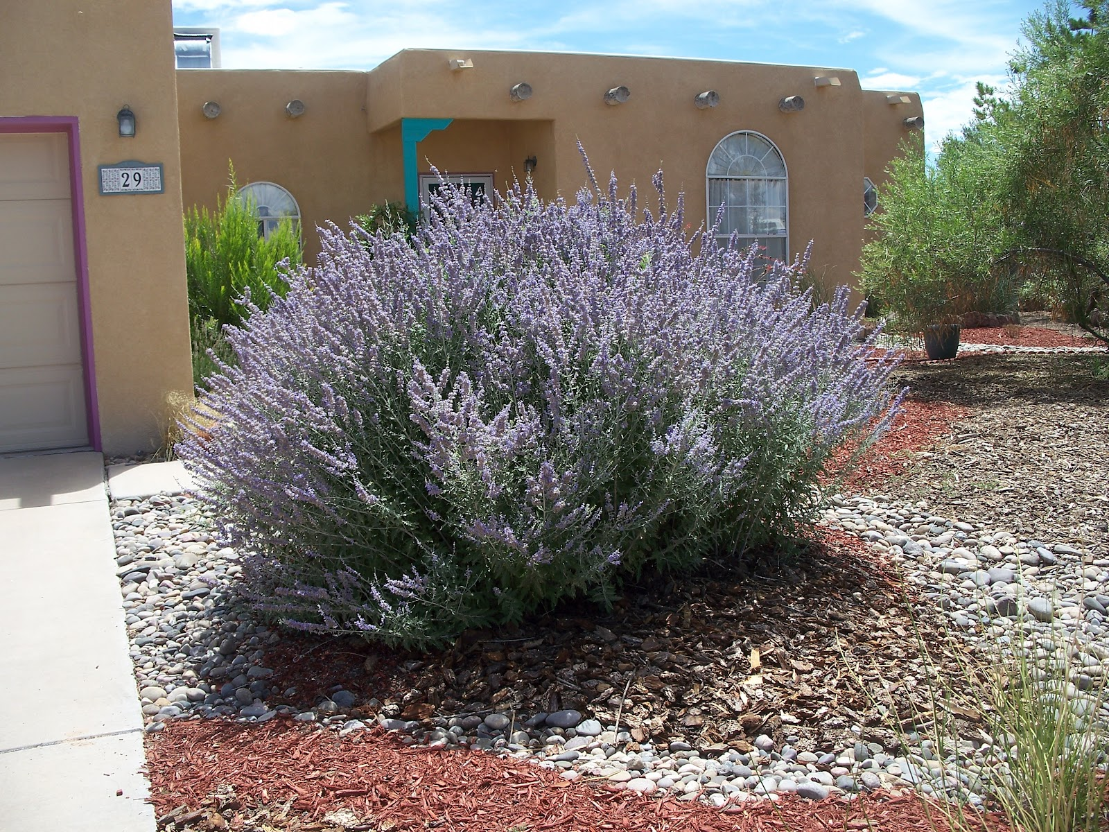 Landscaping With Russian Sage Trees That Please Nurs...