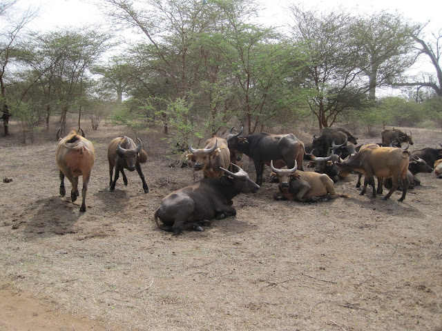 Búfalos en la Rserva de Bandia, Senegal