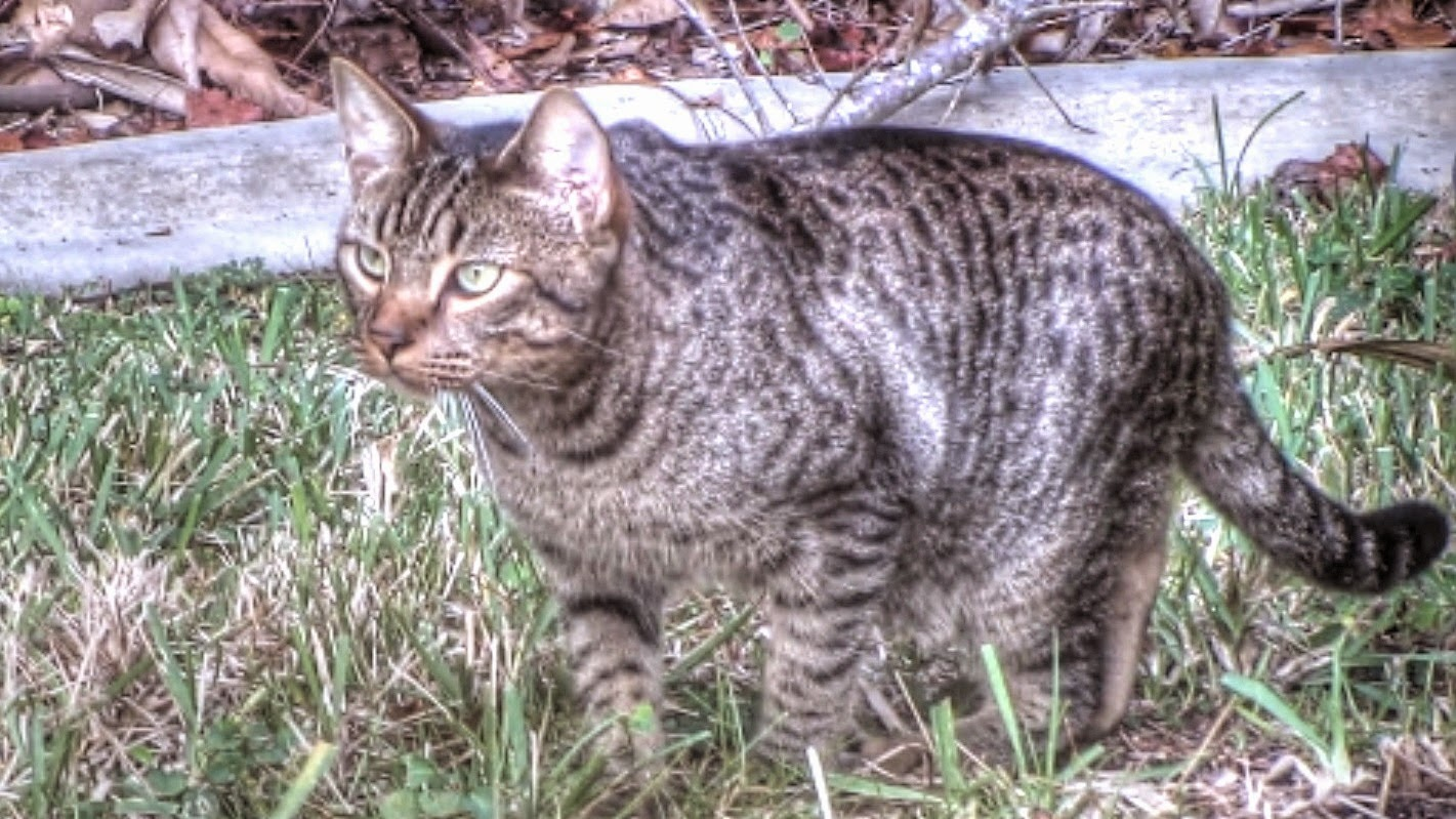 Feral Cat Hunting